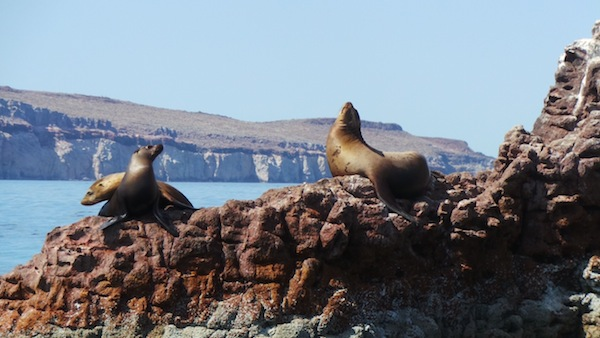La Paz Sea of Cortez Sea Lions